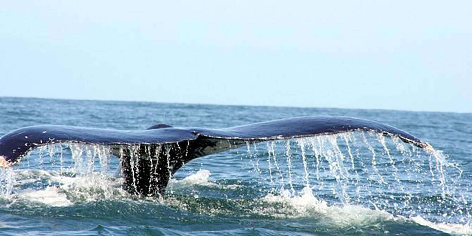 Whales, manta rays, turtles ... in the Sea of Cortez